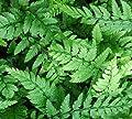 Schmaler Schildfarn - Polystichum tsus simense von Baumschule bei Du und dein Garten