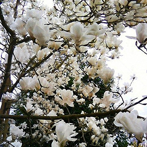 Magnolia Tree (DaDago 10Pcs/Pack Magnolia Seeds Garden Light Durant Tree Seeds Zierpflanzen - 4)