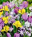 """BALDUR-Garten Blumenzwiebel-Mix """"Frühlingserwachen"""" 40 Zwiebeln mit Krokus, Iris, Puschkinia und Chionodoxa von Baldur-Garten bei Du und dein Garten"""