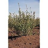 Las semillas orgánicas: ARENA CEREZA Pru beseyii 1-2 lote de