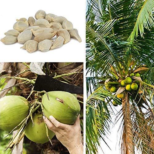 Kokosnuss-palmen (Buffyin 20 Pcs Kokosnuss Baum Samen Riesig Wunder Fruit Tree Hoch Nutrition Juicy Früchte Samen)