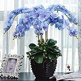 Rosepoem Bonsai Pflanze Schmetterlings-Orchideen-Samen Blau 20 Stück