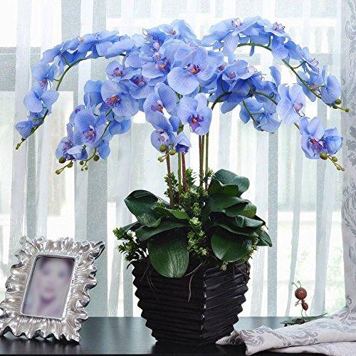 Rosepoem Bonsai Pflanze Schmetterlings-Orchideen-Samen Blau 20 Stück (Samen Pflanze, Orchidee, Blau,)
