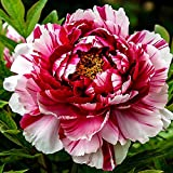 Peony Scented Potpourri TRIPLE SCENTED EXTRA STRONG 25gms Vegan & Cruelty Free