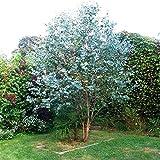 PLAT FIRM GERMINATIONSAMEN: 300 Eukalyptus gunnii-Samen, Apfelwein-Samen, Silber-Dollar-Eukalyptus-Baum