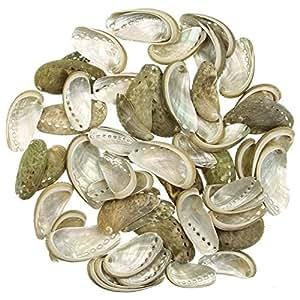 Naturosphère - Mer et coquillages - Coquillages haliotis asinina - 3 à 6 cm - 100 grammes