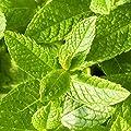 Pfefferminze (Mentha x piperita) - Betört Gaumen und Nase mit ihrem scharfen Mentholgeschmack von Die Stadtgärtner - Du und dein Garten