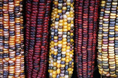 20pcs noir, rouge, arc-en-maïs Semences potagères furit facile de culture biologique Graines de haute qualité pour les légumes jardin à la maison noire