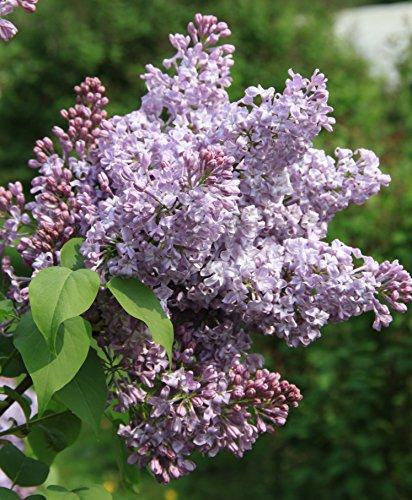 Fliedertraum Syringa hyacinthiflora 'Lavender Lady' Topf Gartenpflanze, 7,5 L, Flieder, Purpur Blühend, 60-80 cm