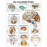 3B Scientific Lehrtafel laminiert - Das menschliche Gehirn