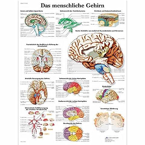 3B Scientific Planche anatomique Das menschliche Gehirn en