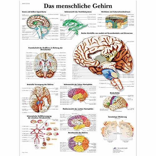 3B Scientific Lehrtafel laminiert - Das menschliche Gehirn -