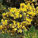 Portal Cool Ginestre Ulex Europaeus - 30+ Seeds. Spedizione Gratuita