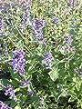 Nepeta x faassenii - Katzenminze, 50 Pflanzen von Dachstauden auf Du und dein Garten