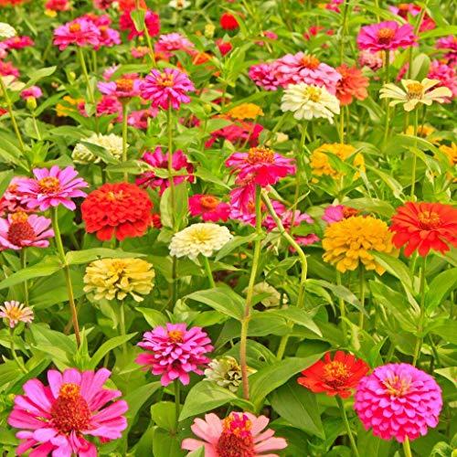 FERRY Bio-Saatgut Nicht nur Pflanzen: 24k Seeds oder 2: Zinnia Mix Samen, helle Farben, Schnitte, Betäubung -