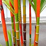 Auntwhale 100Pcs Bambus Samen farbigen Bambus