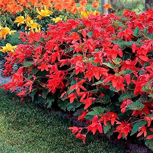 Soteer Garten - 100 Stück selten Begonien-Orange Duft-Begonie Glühbirnen Blumensamen Blumenmeer Begonia Sammlung eines der beliebtesten Stauden für Garten!