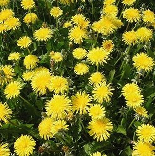 wildflower-dandelion-5000-seeds