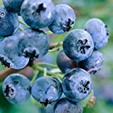 #9: M-Tech Gardens Rare Hybrid Bush Blueberry Fruit Live Plant (1 Healthy Live Plant : Grafted/Air Layering)
