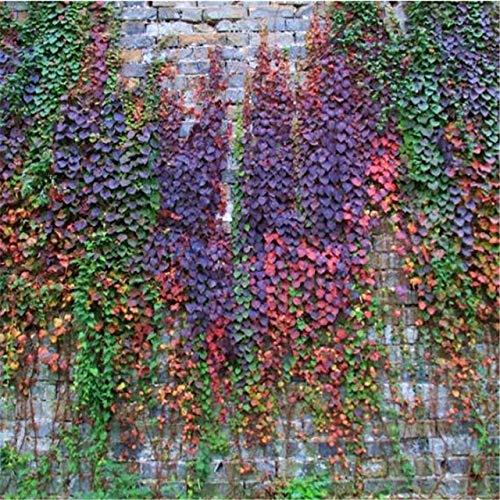Pinkdose 100 pz/lotto 100% vera edera rampicanti all'aperto verde multicolore boston edera parthenocissus tricuspidata decorazione giardinaggio: chiaro