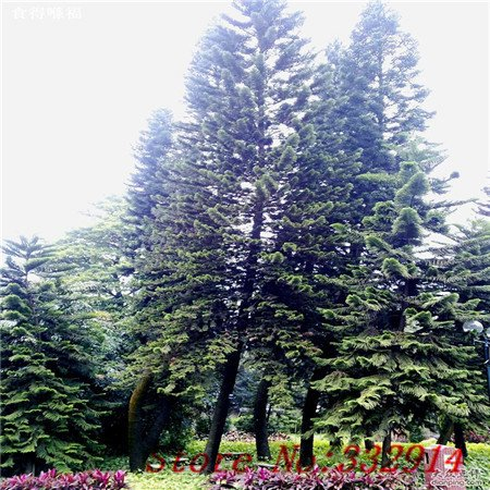 Galleria fotografica Vendita Vendita calda! 100pcs / bag rari semi Araucaria cinesi 20 varietà Bonsai Semi Garden Novel piante Anti-Radiation