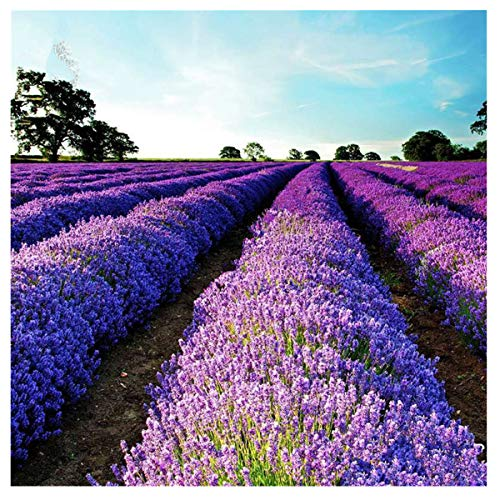 Lavendel Samen, Französisch Lavendel Parfüm Pflanze Blumen 50 Samen/Beutel Balkon Gartenarbeit Bonsai