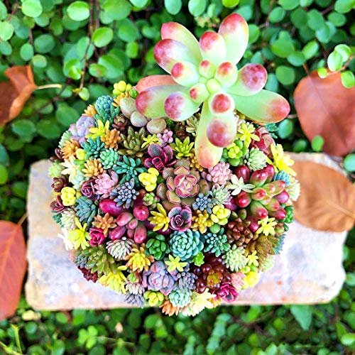 Tomasa Samenhaus- Mixed Sukkulenten Samen, Grünpflanze Sukkulenten Samen Kombination gemischte saftige grüne Pflanze Blume Topf Samen -