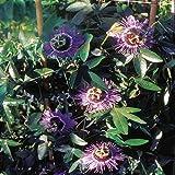 Passiflora/Passiflore Violette Haze - 1 arbrisseau