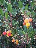 Westlicher Erdbeerbaum Arbutus unedo Pflanze 20cm Meerkirsche Hagapfel Früchte