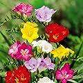 Freesien Mischung von Meingartenshop - Du und dein Garten