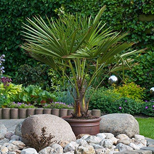 hardy-fan-palm-trachycarpus-fortuneia-80-100cm-tall