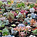 #7: Generic Mixed Succulent Seeds Lithops Living Stones Plants Cactus Home PlantITB
