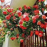 Keland Garten - Kletterrosen Samen winterhart mehrjährig 100pcs Rambler-Rose Rank- und Kletterpflanzen für Wände, Zäune, Fasaden,Rosenbögen und Pergolen (rot)