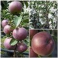 Starline (R) Blue Moon (S) Säulenapfel violetter Apfel Terrassen und Balkonobst 80-120 cm 7,5 Liter Topf von Grüner Garten Shop - Du und dein Garten