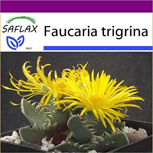 SAFLAX - Big Garden - Kakteen - Echter Tigerrachen - 40 Samen - Faucaria tigrina