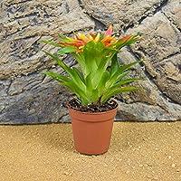 Portal Cool Bromelia - Nuestra Elecciã³n - 5 cm Pot