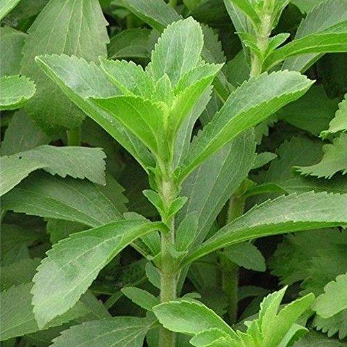 Süßkraut - Stevia rebaudiana - 0,25 Gramm (ca. 500 Samen)