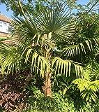 Trachycarpus sp. Nova 160-180cm Hanfpalme die schnellwachsende Palme der Welt Frosthart bis - 18 Grad Celsius Winterharte Palme