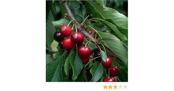 Süsskirsche Burlat Kirschbaum Obstbaum 2-jährig Busch 120-150 cm winterhart