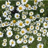 Kräutersamen - Echte Kamille - 10,000 Samen
