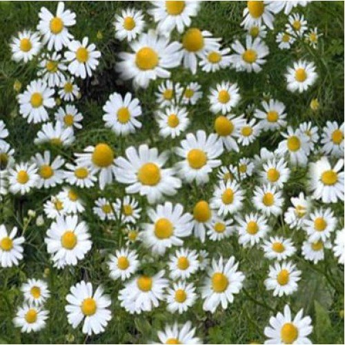 herb-seeds-chamomille-german-20000-seeds