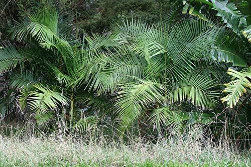 Zuckerrohr Palme -dypsis baronii-