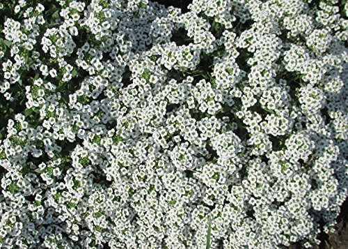 Lobularia maritima known as sweet alyssum commonly referred to as just alyssum. (English Edition) (Sweet Alyssum)