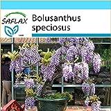 SAFLAX - Geschenk Set - Bonsai - Afrikanischer Blauregen - 15 Samen - Bolusanthus speciosus