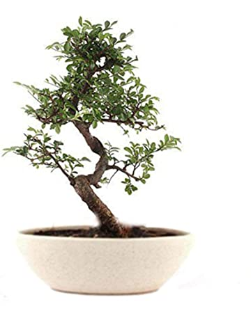 Bonsai Plants: Buy Bonsai Plants Online at Best Prices in