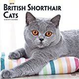 British Shorthair Cats 2019 Square Wall Calendar