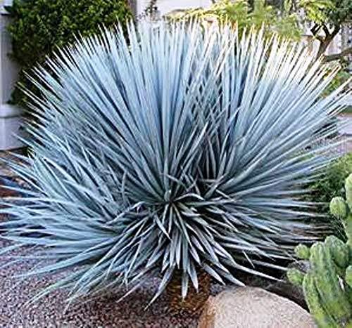 Portal Cool 20 Samen - Blaue Yucca - Yucca Rigida