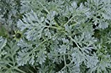 Wermut 500 Samen, Artemisia absinthium