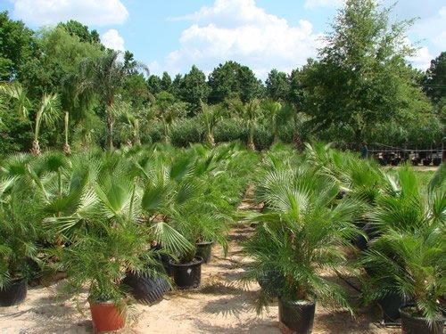 New Palm, CALIFORNIA FAN PALM, Washingtonia Filifera, 20 Samen!