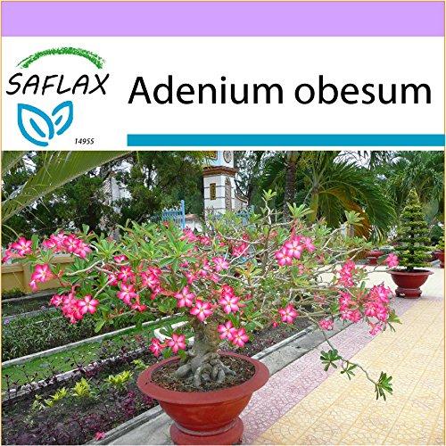 SAFLAX - Rose du désert - 8 graines - Adenium obesum